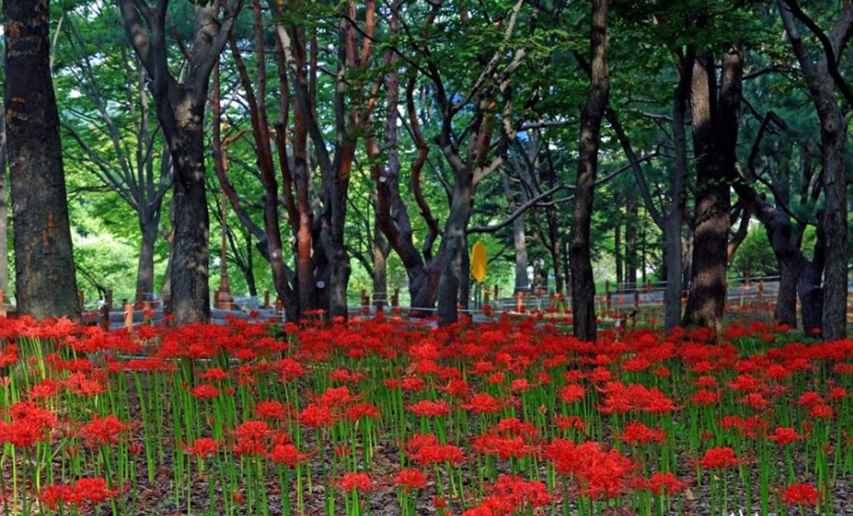 성남시 중앙공원서 21일 꽃무릇 축제 열어